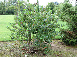 Viking Chokeberry (Aronia x prunifolia 'Viking') at Hillermann Nursery