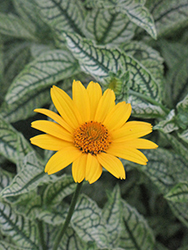 Loraine Sunshine False Sunflower (Heliopsis helianthoides 'Loraine Sunshine') at Hillermann Nursery