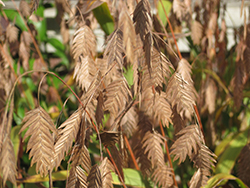 Northern Sea Oats (Chasmanthium latifolium) at Hillermann Nursery