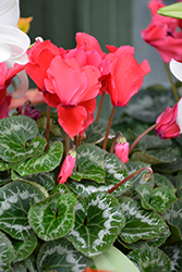 Halios Maximum Choice Bright Scarlet Cyclamen (Cyclamen 'Halios Maximum Choice Bright Scarlet') at Hillermann Nursery