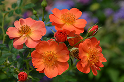 Oso Easy® Paprika Rose (Rosa 'ChewMayTime') at Hillermann Nursery
