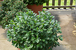 Low Scape® Mound Aronia (Aronia melanocarpa 'UCONNAM165') at Hillermann Nursery