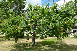 Bing Cherry (Prunus avium 'Bing') at Hillermann Nursery