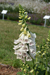Dalmatian White Foxglove (Digitalis purpurea 'Dalmatian White') at Hillermann Nursery