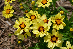 UpTick™ Cream and Red Tickseed (Coreopsis 'Balupteamed') at Hillermann Nursery
