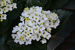 White Kalanchoe (Kalanchoe blossfeldiana 'White') at Hillermann Nursery