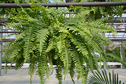 Boston Fern (Nephrolepis exaltata) at Hillermann Nursery