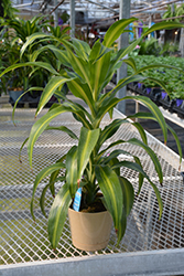 Hawaiian Sunshine Dracaena (Dracaena fragrans 'Hawaiian Sunshine') at Hillermann Nursery