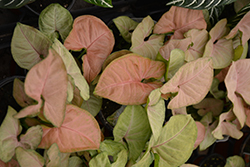 Regina Red Arrowhead Vine (Syngonium 'Regina Red') at Hillermann Nursery