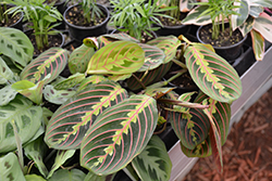 Prayer Plant (Maranta leuconeura 'var. erythroneura') at Hillermann Nursery
