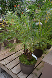 Pygmy Date Palm (Phoenix roebelenii) at Hillermann Nursery