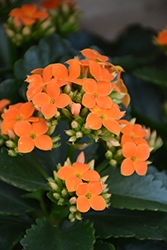 Orange Kalanchoe (Kalanchoe blossfeldiana 'Orange') at Hillermann Nursery