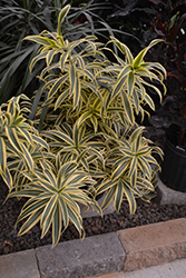 Song of India Plant (Dracaena reflexa 'Song of India') at Hillermann Nursery