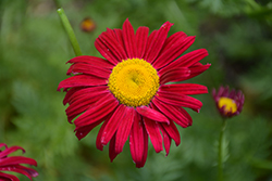 Robinson's Red Painted Daisy (Tanacetum coccineum 'Robinson's Red') at Hillermann Nursery