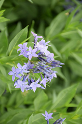 Blue Ice Star Flower (Amsonia tabernaemontana 'Blue Ice') at Hillermann Nursery