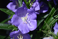 Takion Blue Peachleaf Bellflower (Campanula persicifolia 'Takion Blue') at Hillermann Nursery