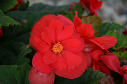 Nonstop® Red Begonia (Begonia 'Nonstop Red') at Hillermann Nursery