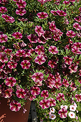 Can-Can® Purple Star Calibrachoa (Calibrachoa 'Can-Can Purple Star') at Hillermann Nursery