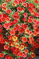 Can-Can® Terracotta Calibrachoa (Calibrachoa 'Can-Can Terracotta') at Hillermann Nursery