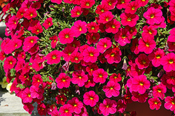 Cabaret® Cherry Rose Calibrachoa (Calibrachoa 'Cabaret Cherry Rose') at Hillermann Nursery