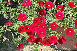 Superbells® Red Calibrachoa (Calibrachoa 'Superbells Red') at Hillermann Nursery