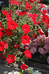 Sun Spun Red Petunia (Petunia 'Sun Spun Red') at Hillermann Nursery