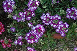 Lanai® Twister™ Purple Verbena (Verbena 'Lanai Twister Purple') at Hillermann Nursery