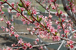 Redhaven Peach (Prunus persica 'Redhaven') at Hillermann Nursery