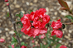 Double Take Pink™ Flowering Quince (Chaenomeles speciosa 'Double Take Pink Storm') at Hillermann Nursery