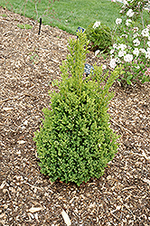 Green Mountain Boxwood (Buxus 'Green Mountain') at Hillermann Nursery