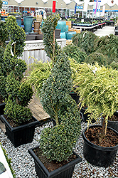 Green Mountain Boxwood (spiral form) (Buxus 'Green Mountain (spiral)') at Hillermann Nursery