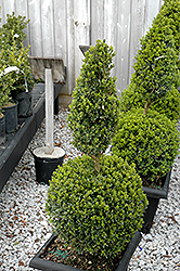 Green Mountain Boxwood (poodle form) (Buxus 'Green Mountain (poodle)') at Hillermann Nursery
