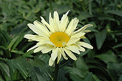 Banana Cream Shasta Daisy (Leucanthemum x superbum 'Banana Cream') at Hillermann Nursery