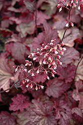 Berry Smoothie Coral Bells (Heuchera 'Berry Smoothie') at Hillermann Nursery