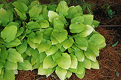 Fire Island Hosta (Hosta 'Fire Island') at Hillermann Nursery