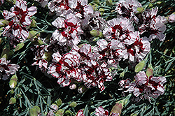 Coconut Punch Pinks (Dianthus 'Coconut Punch') at Hillermann Nursery
