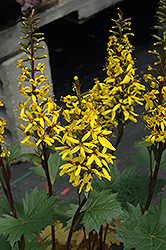 Little Rocket Rayflower (Ligularia 'Little Rocket') at Hillermann Nursery