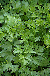 Italian Parsley (Petroselinum crispum 'var. neapolitanum') at Hillermann Nursery