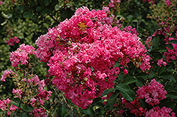 Tonto Crapemyrtle (Lagerstroemia 'Tonto') at Hillermann Nursery