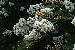 Acoma Crapemyrtle (Lagerstroemia 'Acoma') at Hillermann Nursery