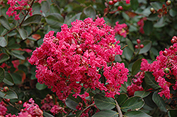 Red Filli Crapemyrtle (Lagerstroemia indica 'Red Filli') at Hillermann Nursery