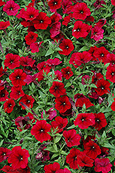 Easy Wave® Red Velour Petunia (Petunia 'Easy Wave Red Velour') at Hillermann Nursery