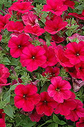 Easy Wave® Berry Velour Petunia (Petunia 'Easy Wave Berry Velour') at Hillermann Nursery