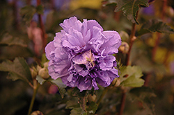 Blueberry Smoothie Rose of Sharon (Hibiscus syriacus 'DS01BS') at Hillermann Nursery