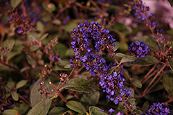 Lo And Behold® Blue Chip Junior Dwarf Butterfly Bush (Buddleia 'Lo And Behold Blue Chip Junior') at Hillermann Nursery