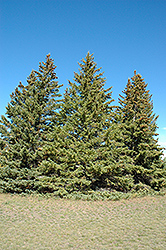 White Spruce (Picea glauca) at Hillermann Nursery