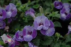 Blue Moon Torenia (Torenia 'Blue Moon') at Hillermann Nursery