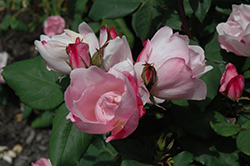 Blushing Knock Out® Rose (Rosa 'Radyod') at Hillermann Nursery