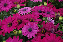 Serenity Dark Purple African Daisy (Osteospermum 'Serenity Dark Purple') at Hillermann Nursery