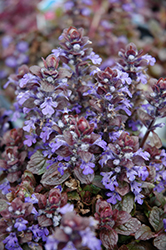 Bronze Beauty Bugleweed (Ajuga reptans 'Bronze Beauty') at Hillermann Nursery